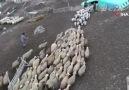 Elazığda 200 kuzunun koyunlarla buluşma anı
