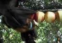 Elma Kemiren Yarasalar