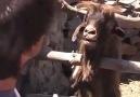 En az benim kadar sinirli bu keçi