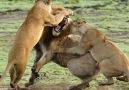 En inanılmaz 10 hayvan kavgası!