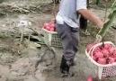 Entertainment Video - Incredible fruits Facebook