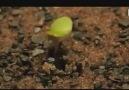 Erikanın Gülü bitkisi. Zor şartlar altında evrim...