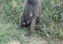 erken boşalan maymun
