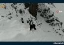 Erzurum dağlarında çok nadir bir keçi türü görüntülendi