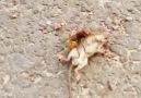 Eşek arısı yakaladığı fındık faresini defalarca sokarak felç ediyor..