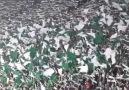 Fas Raja Casablanca tribünleri değil Türkiye Bursaspor Tribünleri!