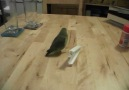 Feathers our parrotlet playing with a food clip.