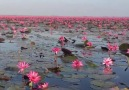 Floating on the The Red Lotus Sea in Thailand