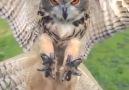 Flying Owl in Slow Motion