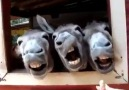 Four Funny Donkeys