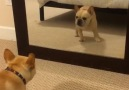 Frenchie puppy sees himself in the mirror for the first time...