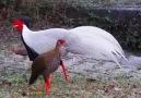 Fun Addicts - 5 most Beautiful Pheasant Birds