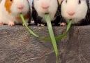 9GAG - 3 guinea pigs eating Facebook
