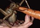 Genetiği İle Oynanmış Dev Böcek