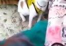 Goooool diye bağıran kedi