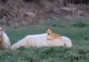 Gördüğüm en akıllı çoban köpeği )
