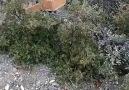 Gostil Beyinli - Ağzıyla Odun Kesen Ufaklık