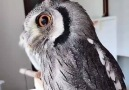 Grey Owl Incredible