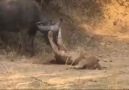 Güçten iyice düşen yaşlı aslan son darbeyi de avından alıyor...