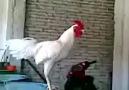 Gülen Horoz :)
