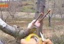 Gund Kreck - Kayısı ağaçı aşısıCeviz ağaçı aşısıarmut...