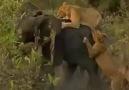 Günlerdir Aç Olan Aslan Sürüsünün Nefes Kesen Fil Avı!