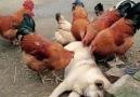 Günlük Bakımını Tavuklara Yaptıran Köpek D