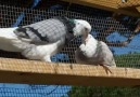 Güvercin Dünyası