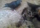 Güvercin kedi güreşi