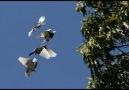 GüvercinLer için Yapılmış En Güzel Video Lütfen Paylaşalım