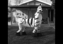 Hahah this zebra can dance!! D p song