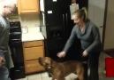 Hamile kadını koruyan köpek. İnanılır gibi değil.