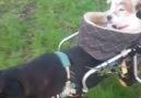 Handicap Dog Carries Deaf And Blind Friend