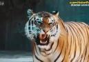 Hayvanlara Dublaj Yapan Çocuklar