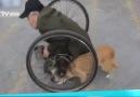 Heartfelt: loyal dog pushes the wheels for disabled beggar!