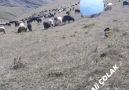 Hemşin Çobanı Ali ÇOLAK - Hemşin Koyunu Çobanları