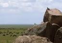 Herşey Dahil - aslanın sırtında avlanan kaya keleri Facebook