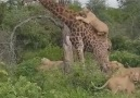 Herşey Dahil - what will be the end of the giraffe Facebook