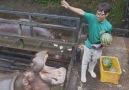 hippo loves watermelon