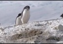 Hırsızlık yapan penguen belgeseli
