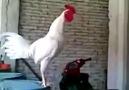 Horoz Kahkaha Atıyor :))