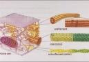 Hücre İskeleti