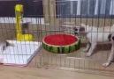 İki köpek 1 kedi )
