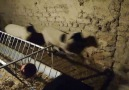 Ilker Kara - Sahiplendirilecektir.. 5 adet gebe koyun 5...
