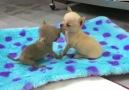 I Love Chihuahuas - Love Facebook