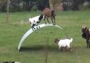 İnatçı Keçilerin &BENİM&oyunu