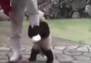 İnatçı Panda