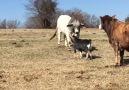 İnatçı ve cesur keçi