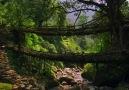 İncir Köklerinden Köprü Yapmak