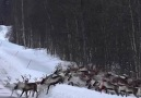 In Norway we close the main roads so reindeer can close safely
